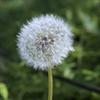 To be Dandelion