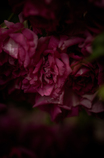 withered rose 11