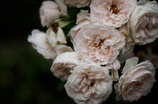 Withered roses 15