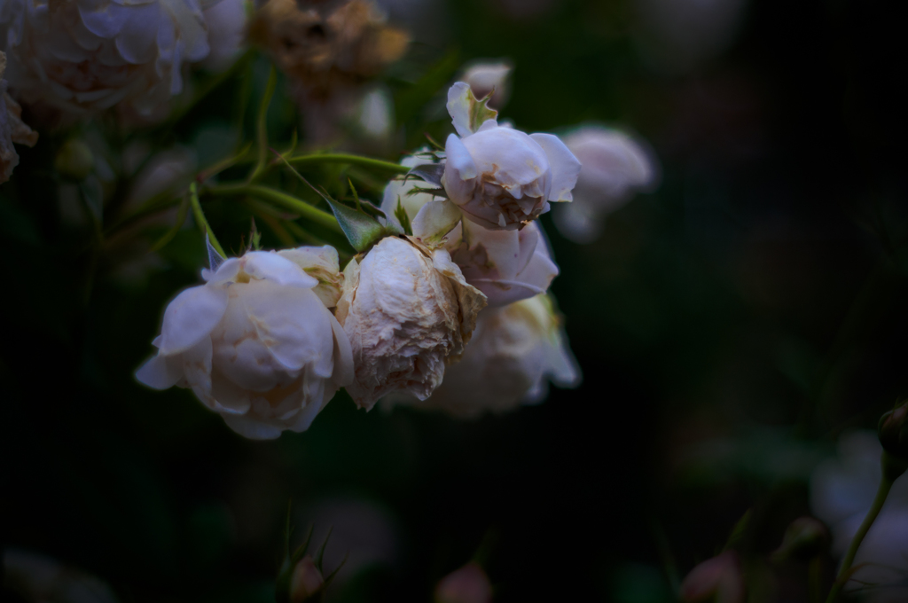 Withered roses 08