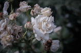 withered rose 05