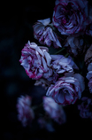 Withered roses 04