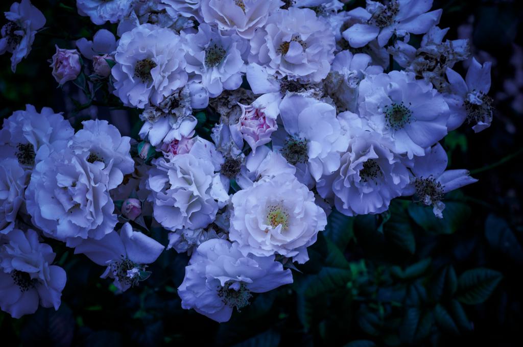 Withered roses 16