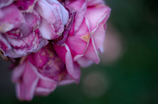 Withered roses 13