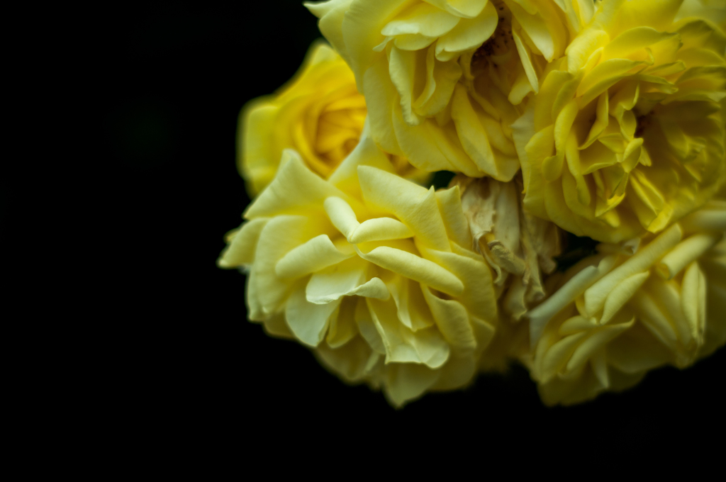 Withered roses 14
