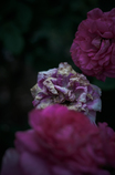 Withered roses 11