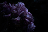 withered rose 03