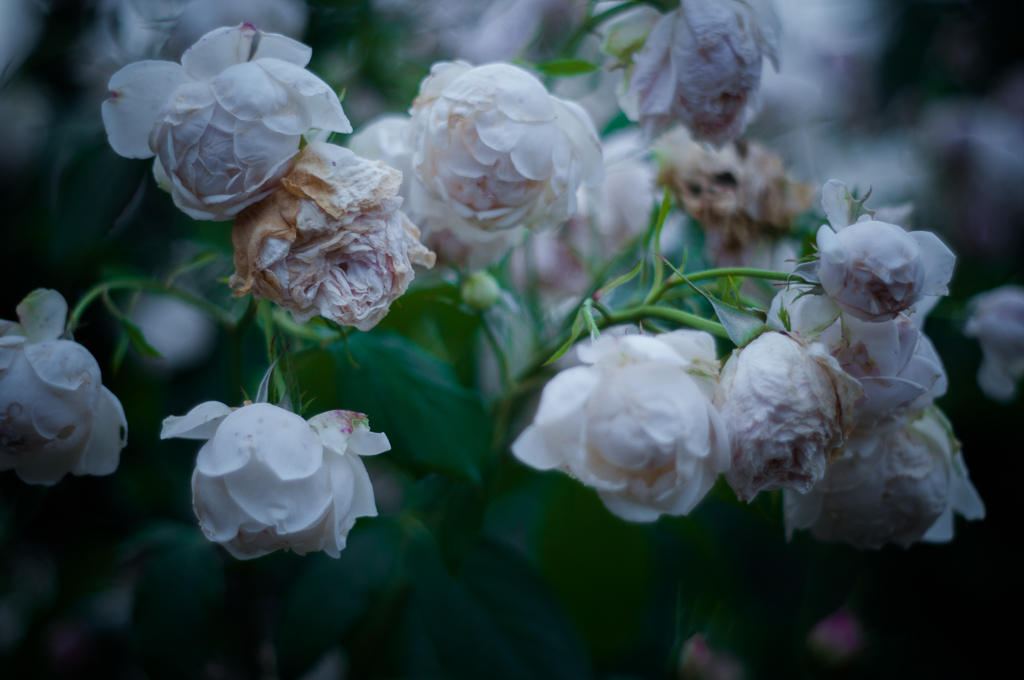Withered roses 07