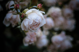 Withered roses 06