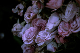 Withered roses 02