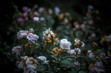 Withered roses 09