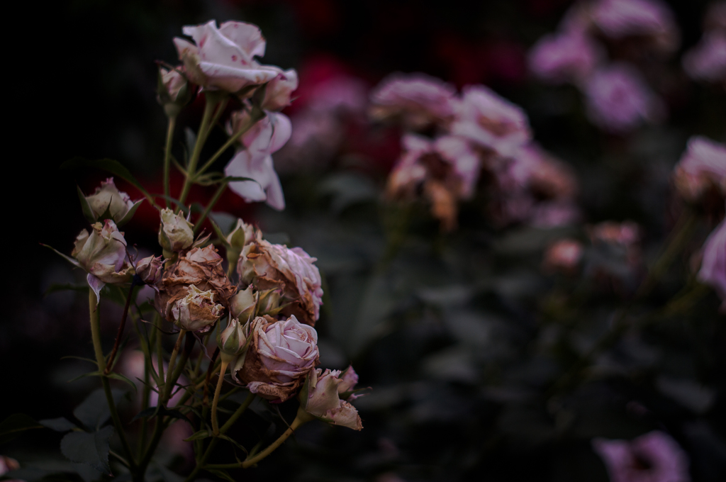 Withered roses 01