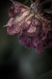 withered rose 12