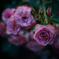 Withered roses 05