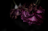 Withered roses 10