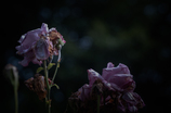 withered rose 02