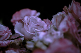 Withered roses 03