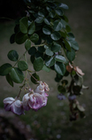 withered rose 09