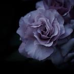 PENTAX PENTAX K-7で撮影した(rose18)の写真(画像)