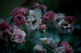 withered rose 07