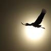 日出づる国の鶴
