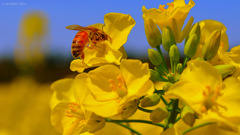a worker bee...