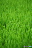 稲Green