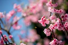 20160228_新都心公園-桜086