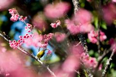 20160228_新都心公園-桜088