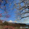 梅と富士 -2 -T