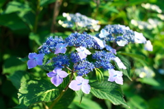 朝撮りの紫陽花(2)