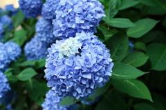 朝撮りの紫陽花(4)
