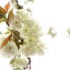 若葉-ウコン桜