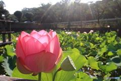 広角で蓮の花