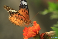 オレンジの花にオレンジの蝶