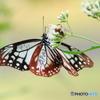 群馬県からやって来た奇跡の蝶