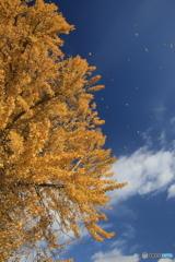 イチョウの木と青空