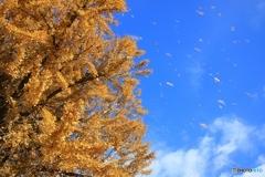 飛び散る黄葉