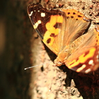 CANON Canon EOS 7Dで撮影した(野山の蝶-アカタテハ)の写真(画像)