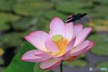 蓮の花とチョウトンボ 1