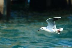 ユリカモメの飛行