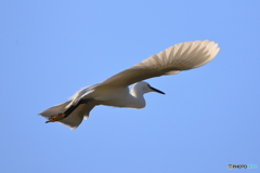 コサギの飛翔2