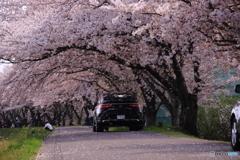 散る桜 1