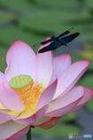 蓮の花とチョウトンボ 2