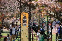 散る桜 4