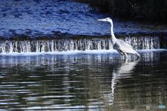 青い川に青い鳥