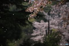 散る桜 3