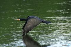 カワウ飛ぶ