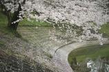 桜舞う季節
