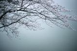 「桜は儚いからこそ美しい」